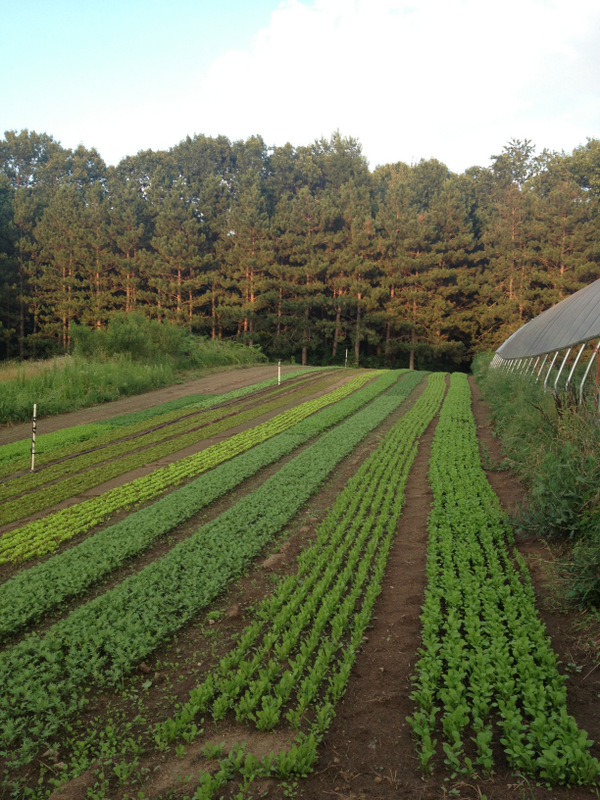 Rows of lettuce growing on my aunt and uncle's farm in southern Michigan.  The hoop house just visible on the left has some really great sungolds in it.